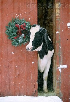 COW 02 LS0002 01 - Holstein Cow Poking Head Out Of Red Barn By Christmas Wreath - Kimballstock