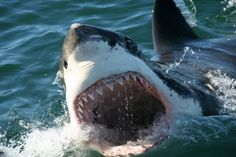 Great White Sharks | Marine Dynamics