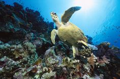 GREEN SEA TURTLE (CHELONIA MYDAS) ENDANGERED, SWIMMING OVER CORAL REEF, 40 FEET DEEP, RED SEA, EGYPT BY CHRIS