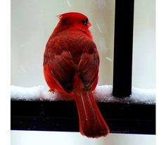 Pajarito rojo mirando la nieve.