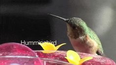 Video: Hummingbird – A Minute in the Garden 20 from A Gardener's Notebook - See more at: http://welchwrite.com/agn/2015/07/05/video-hummingbird-a-minute-in-the-garden-20-from-a-gardeners-notebook/#sthash.aIdqvvj9.dpuf