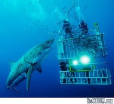 Photo of a great white shark and divers. Wouldn't want to be one of those guys up top. Photo by David Litchfield. of the day awesome Shark Picture – Underwater Photo - National Geographic Photo of the Day Photographie National Geographic, National Geographic Photography, Orcas, Guadalupe Island, National Geographic Photo Contest, Shark Cage, Fauna Marina, Shark Diving, Scuba Diving