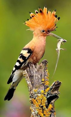 A Hoopoe bird having a small meal, well descent sized meal for this relatively smaller bird, it's just a question of SCALE so this SCALEy lizard keeps its belly satisfied