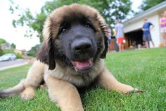 Leonberger Dog Puppies .