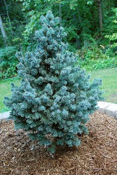 DWARF BLUE SPRUCE that's also supposed to be shade tolerant, see attached blog   Dwarf Conifers for the Shade | 3 acres & 3000 square feet