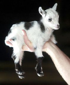 African Pygmy Goat.  Fits in your hand.