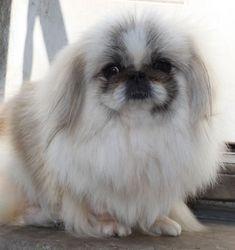 best photos, pictures and images about pekingese dog - oldest dog breeds Yorkies, Pekingese Puppies, Yorkie Dogs, Cute Puppies, Cute Dogs, Dogs And Puppies, Fu Dog, Dog Cat, Animals And Pets