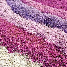 The Creeping Phlox grows about 4 inches tall, stays green all year (in mild climates) and gives masses of color in early spring.  Creeping Phlox comes in our choice of red, blue, white, or pink.  Won