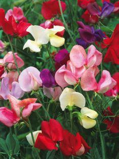 Sowing these colorful annuals is a breeze. Just plant and enjoy.