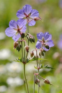 Just Seed - British Wild Flower - Meadow Cranesbill - Geranium pratense - 200 Seeds by Just Seed, http://www.amazon.co.uk/dp/B00AQTN8T0/ref=cm_sw_r_pi_dp_legyrb0ZZ6G06