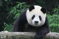 panda - Google-keresés Panda Bear, Google, Animals, Animales, Animaux, Panda, Animal, Animais, Pandas