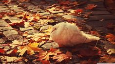 cute white pigeon in autumn White Pigeon, Dove Bird, Ipad, Widescreen Wallpaper, Wallpapers, Desktop Pictures, White Doves, 4k Uhd, Animal Wallpaper