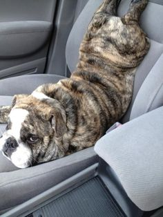 Yeah, I'd prefer to ride like this seat belt, IF you don't mind. It's a great back stretch. When we switch and I drive, you should really try it.  Beautiful and melting Bulldog. :)