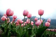Image result for Indira Gandhi Tulip memorial Garden