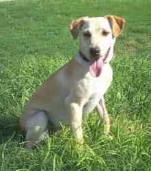 rat terrier labrador mix pointer jack russell mix jack russell terrier poodle 5635