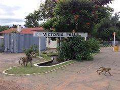 Victoria Falls baboons