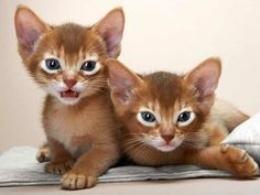 About Abyssinian Cats Cat Fancier Association (CFA), the largest cat organization in the world recognized this cat.