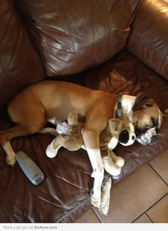 Boxer with his boxer