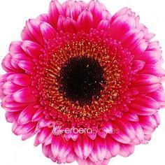 Bulk Flowers - Fresh Pink Germinis With Ruffled Petals