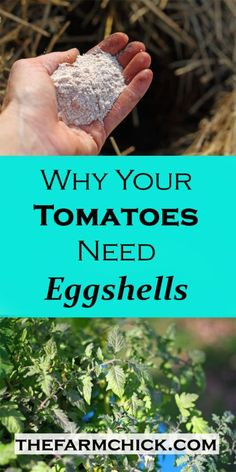 Did you know you can use eggshells in your garden to help you grown beautiful tomatoes and peppers? Yup, it's true and I'm going to tell you how and why you should be saving those eggshells! So, have you ever had gorgeous looking tomato plants and you st Growing Tomatoes In Containers, Growing Veggies, Growing Plants, Growing Zucchini, Growing Peppers, Growing Onions, Planting Vegetables, Growing Grass From Seed, Planting Grass Seed