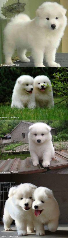 baby Samoyeds