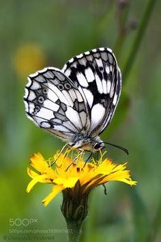Melanargia galathea by bypedro #nature #photooftheday #amazing #picoftheday