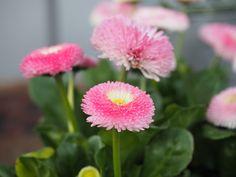 Tusenfryd og takk for et spennende lærerikt år:-) - min side Flowers, Plants, Pink, Buttons, Florals, Hot Pink, Plant, Pink Hair, Flower