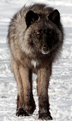 I love dark colored wolves
