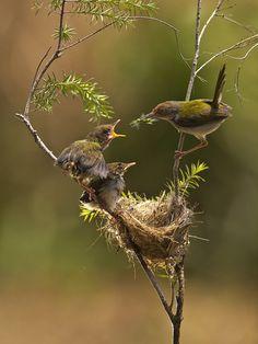 Common Taillorbird