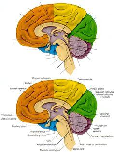 sagittal view of the human brain | BRAIN SAGITTAL ...