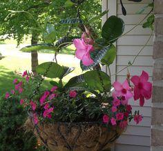 Cultiva dipladenias en tu jardín