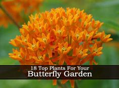 Top Plants For Your Butterfly Garden. Phlox, Anise Hyssop, Butterfly Bush, Butterfly Weed, Pentas, Passion Flower, South American Verbena & Zinna