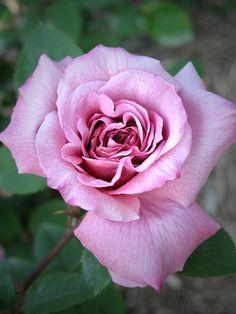 Floribunda Rose: Rosa 'Nimbus' (U.K., 1989)