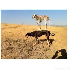 Maddie on Hazel the Other Coonhound.