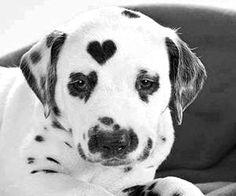 Dalmatian heart puppy :)