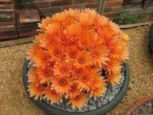 cactus con flores