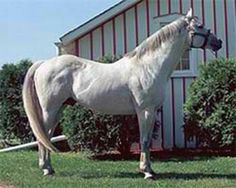 Native Dancer (1950-1967) was sired by Polynesian out of Geisha; Grandsire: Unbreakable; Damsire: Discovery. A truly astonishing horse, Native Dancer won 21 out of 22 starts (21-1-0). He was the U.S. Champion 2-Year-Old Colt and Horse of the Year in 1952 and was named U.S. Champion 3-Year-Old Colt in 1953 and was again Horse of the Year in 1954. Native Dancer was inducted into the Hall of Fame in 1963.