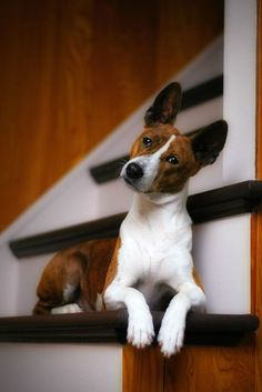Basenji 20 Dogs That Don't Shed - Hypoallergenic Dog Breeds dogs Adopt One of These 20 Types of Hypoallergenic Dogs for Endless Cuddles Quiet Dog Breeds, Cute Dogs Breeds, Small Dog Breeds, Small Dogs, Pet Breeds, Medium Sized Dogs, Medium Dogs, Short Haired Dog Breeds, Low Maintenance Dog Breeds
