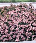 flowering shrub heat, low water requirements and ok with seasalt exposure. Eleanor Taber™ Indian Hawthorn (Rhaphiolepis indica 'Conor' P.P# 9398) - Monrovia - Eleanor Taber™ Indian Hawthorn (Rhaphiolepis indica 'Conor' P.P# 9398)