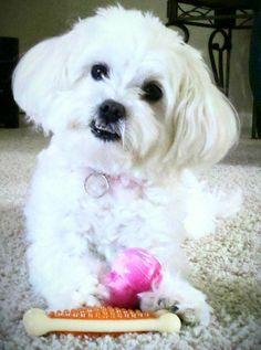 My lil malti-poo Abby!