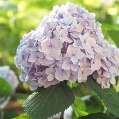 For a beautiful garden all summer long, add this Reblooming Hydrangea! More summer-blooming shrubs: http://www.bhg.com/gardening/trees-shrubs-vines/shrubs/summer-blooming-shrubs/?socsrc=bhgpin040113rebloominghydrangea=8