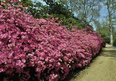 Azaleas at Exbury Gardens  you have to have these in you garden.....  a must !!