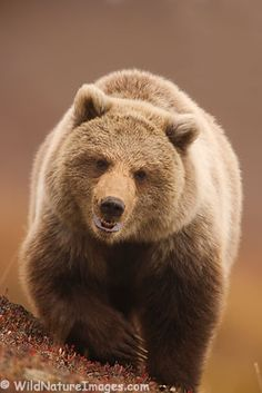 Grizzly Bear, Denali National Park, Alaska.