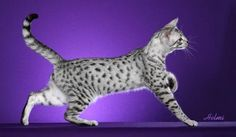 Platinum Egyptian Mau, my future cat :)