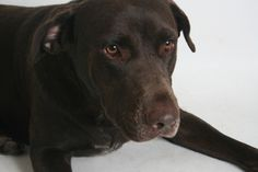 Diesel is a 6-year old chocolate male Labrador retriever mix. He is social, knows commands for down and sit, and is rated for a family with children ages 5 and older. All feline and canine adoptions include spaying or neutering, vaccinations and a microchip. Visit Haven Humane Society, 7449 Eastside Road, Redding. Call 241-1653. Go to www.havenhumane.net. Go to www.redding.com for more adoptable pets.