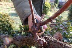 Pestujete vinič ako zástenu? Práve teraz ho treba takto orezať | Záhrada.sk