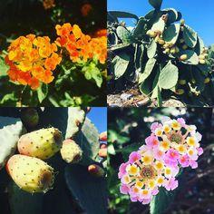 #flowersofcyprus #plantsofcyprus #colorsofcyprus #livinginparadise #begrateful #seieinheld #lebeseelischeidentität Was ist Deine Lieblingsblume?