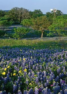 Our Texas bluebonnets