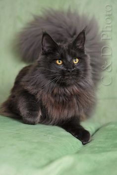 Maine Coon Blue Smoke   Such a gorgeous cat!