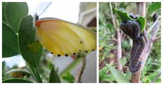 Butterfly laying eggs on a protea bush in Voelklip